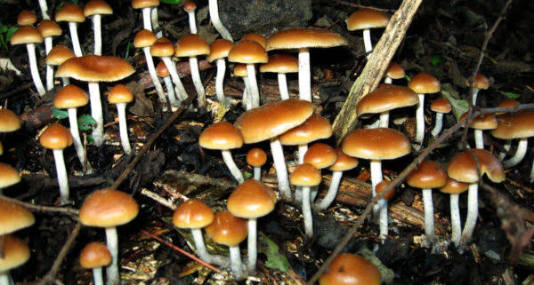 Magic Mushrooms may in future be used for treatment of depression.