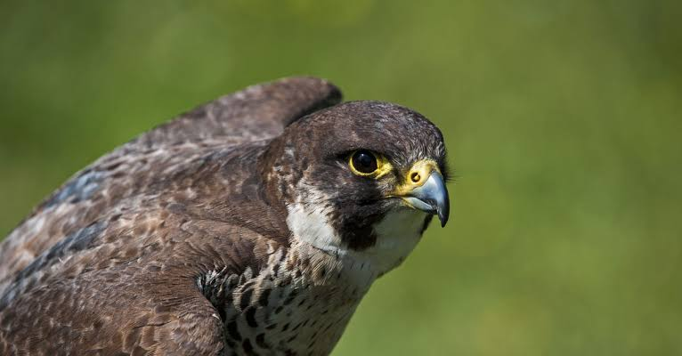 Peregrine falcons nesting in the Boeing MAX hangar will be kicked out soon